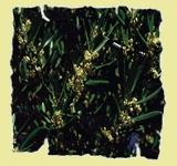 Bachovy esence. Olive – Oliva (10ml)